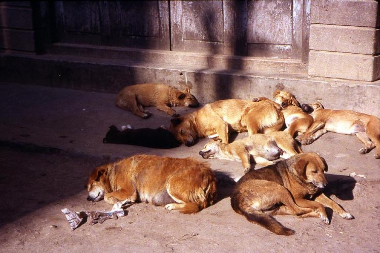 3 Year Plan to Control Canines in Kathmandu