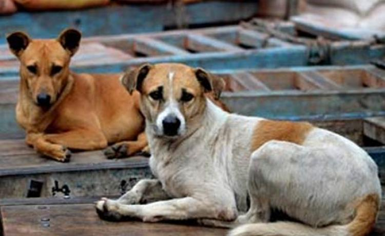 Kerala to sell their stray dogs to China Yulin dog meat festival