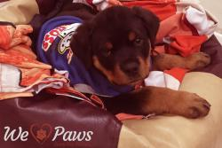 This Cute Rottweiler Saved 11 People from Certain Death
